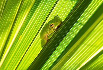 Photograph - Tree Frog And Palm Frond by Kenneth Albin
