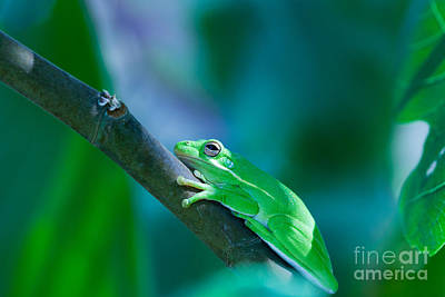 Photograph - Tree Frog by Diane Macdonald