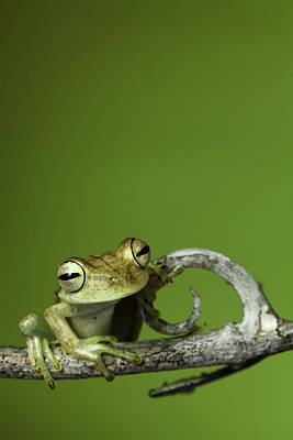 Frogs Photograph - Tree Frog by Dirk Ercken