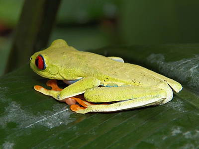 Photograph - Tree Frog by Georgia Hamlin