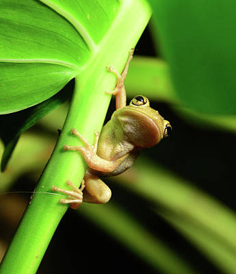 Photograph - Tree Frog Hunting At Night by David Lee Thompson