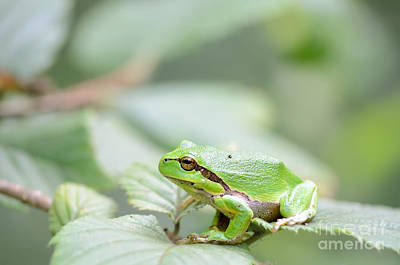Photograph - Tree Frog In Green by IPics Photography