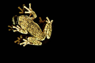 Photograph - Tree Frog On Glass by Brent L Ander