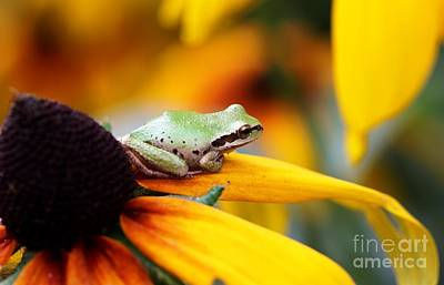 Photograph - Tree Frog On Yellow Flower by Nick Gustafson