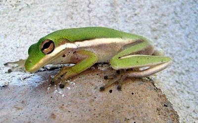 Photograph - Tree Frog by T Guy Spencer