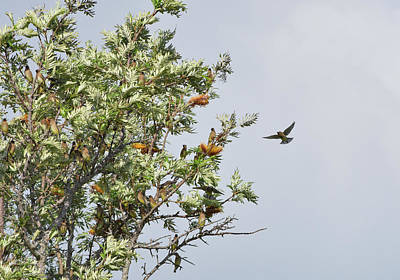 Photograph - Tree Full Of Waxwings by William Tasker