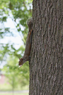 Photograph - Tree Hugger Squirrel by Bob Slitzan