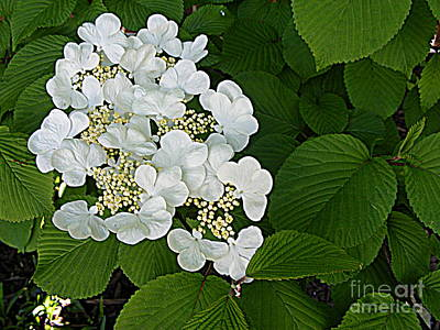 Photograph - Tree Hydrangea Blossoms by Nancy Kane Chapman