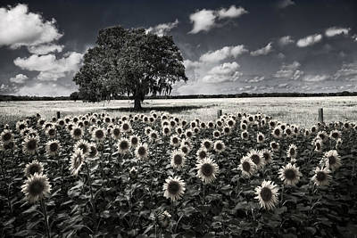 Tree In The Sunflower Field Black And White Art Print by Debra and Dave Vanderlaan