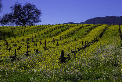 Sonoma County Photograph - Tree  In Vineyards by Garry Gay