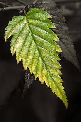 Photograph - Tree Leaf Study  by Dick Pratt