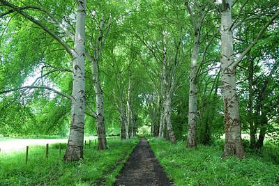Photograph - Tree-lined Path by Richard Gibb