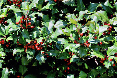 Photograph - Tree Of Holly by JAMART Photography