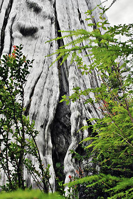 Bleached Tree Photograph - Tree Of Life - Duncan Memorial Big Western Red Cedar by Christine Till