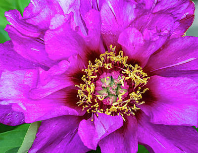 Royalty-Free and Rights-Managed Images - Tree Peony 2 by Steve Harrington