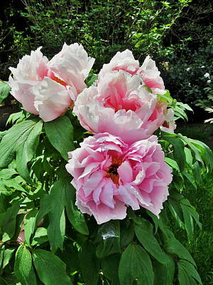 Photograph - Tree Peony  From Crimea by Rick Todaro