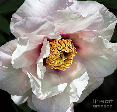 Photograph - Tree Peony 'mystery' by Ann Jacobson