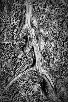 Pine Needles Photograph - Tree Root With Pine Needles by Paul Causie