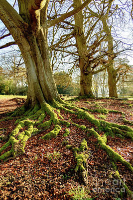 Photograph - Tree Roots And Moss by Colin Rayner