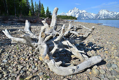 Photograph - Tree Roots On Shore Of Jackson Lake by Ray Mathis