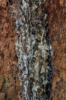 Photograph - Tree Sap by Tikvah's Hope