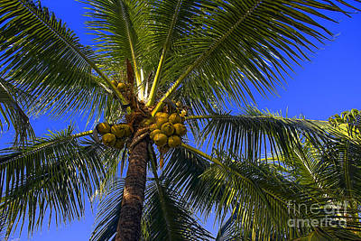 Photograph - Coconut Tree 77 - Tree Series 77 by Carlos Diaz
