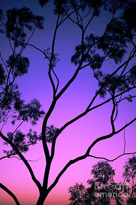 Photograph - Tree Silhouette At Dusk In Ipswich, Queensland by Rob D
