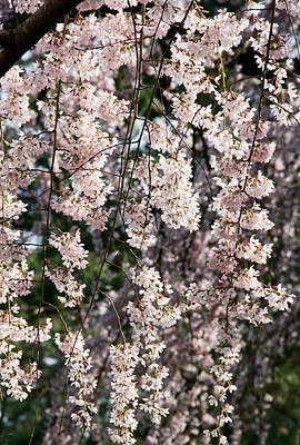 Tree Spring Flowers Art Print
