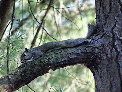 Photograph -  Tree Squirrel by B Wayne Mullins