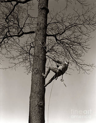 Tree Surgeon Climbing Elm Tree, C.1940s Print by H. Armstrong Roberts/ClassicStock