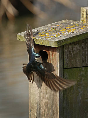 Photograph - Tree Swallow At Nesting Box by Inge Riis McDonald
