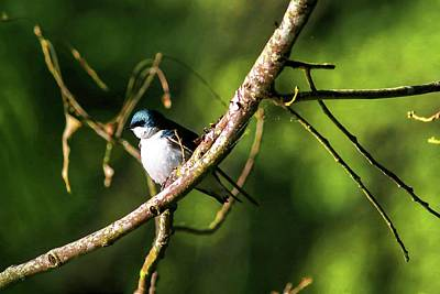 Photograph - Tree Swallow by Carol Montoya