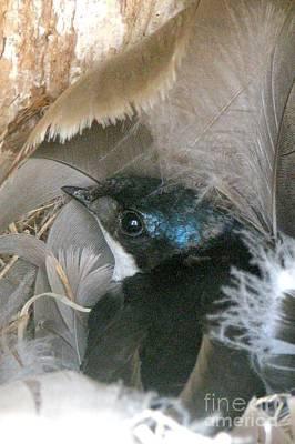 Nesting Tree Swallow  Art Print