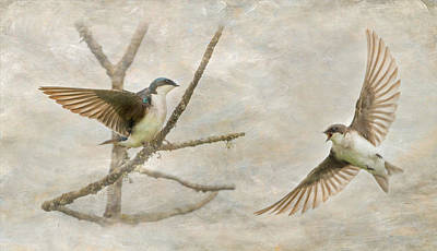Tree Swallow Photograph - Tree Swallow Courtship by Angie Vogel