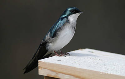 Photograph - Tree Swallow by Debbie Parker