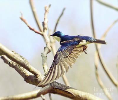 Winter Animals - Tree Swallow in Flight by Kerri Farley