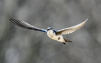 Photograph - Tree Swallow In Flight by William Bitman
