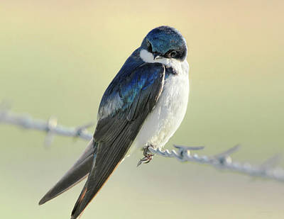 Photograph - Tree Swallow by Jennie Marie Schell