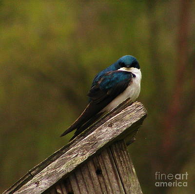 Photograph - Tree Swallow by Marilyn Smith