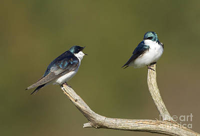 Swallow Photograph - Tree Swallow Pair by Marie Read
