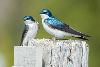 Water Droplets Sharon Johnstone - Tree Swallow Pair by Richard Kitchen