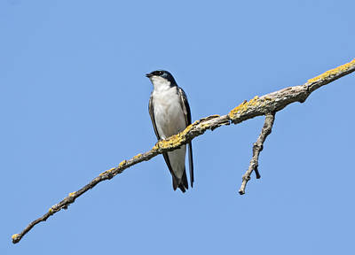 Tree Swallow Photograph - Tree Swallow Perched by Loree Johnson