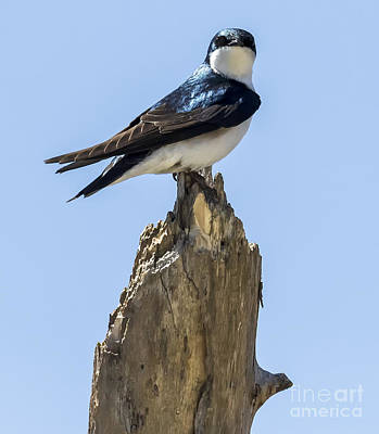 Photograph - Tree Swallow by Ricky L Jones
