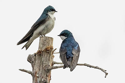 Photograph - Tree Swallow Times Two by Belinda Greb