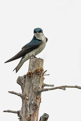 Photograph - Tree Swallow With Flair by Belinda Greb