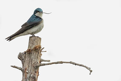 Photograph - Tree Swallow With Twig by Belinda Greb