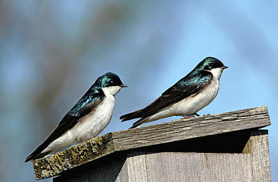 Photograph - Tree Swallows At Home by Debbie Oppermann