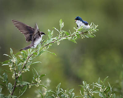 Photograph - Tree Swallows by Bill Wakeley