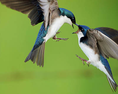 Bif Photograph - Tree Swallows Fighting by Jestephotography Ltd