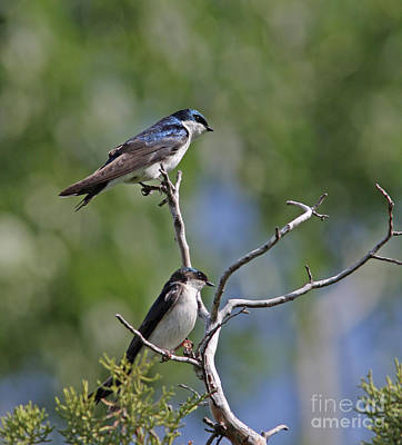 Tree Photograph - Tree Swallows by Gary Wing